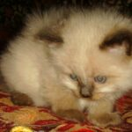 Невский Маскарадный котик 3
