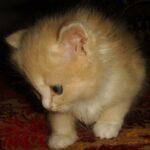 Персиковый котёнок 3