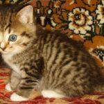 Мини-тигр 3