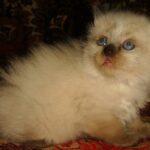 Невский Маскарадный котик 4