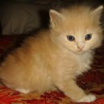 Персиковый котёнок 4