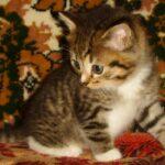 Мини-тигр 4