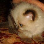 Невский Маскарадный котик 5