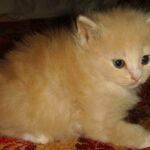 Персиковый котёнок 5