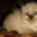Невский Маскарадный котик 6