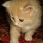 Персиковый котёнок 6