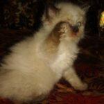 Невский Маскарадный котик 7