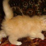 Персиковый котёнок 7
