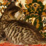Мини-тигр 7