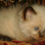 Невский Маскарадный котик 8