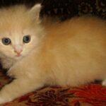 Персиковый котёнок 8