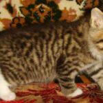 Мини-тигр 8