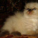 Невский Маскарадный котик 9