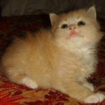 Персиковый котёнок 9