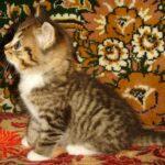Мини-тигр 9