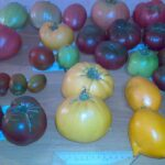 Семенной фонд помидор 3