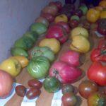 Семенной фонд помидор 4