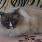 Питомник Невских кошек 10
