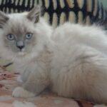 Питомник Невских кошек 11