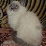 Питомник Невских кошек 12