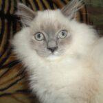 Питомник Невских кошек 13