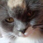Питомник Невских кошек 14