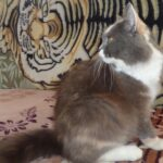 Питомник Невских кошек 16