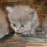 Питомник Невских кошек 17