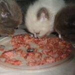 Питомник Невских кошек 19