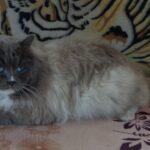Питомник Невских кошек 2
