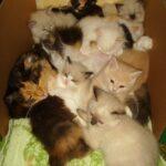 Питомник Невских кошек 20
