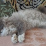 Питомник Невских кошек 3
