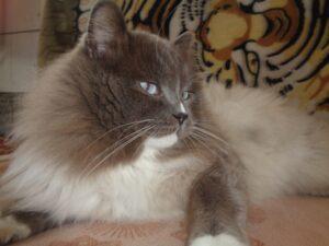 Питомник Невских кошек