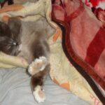 Питомник Невских кошек 4