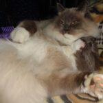 Питомник Невских кошек 5
