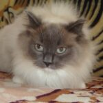 Питомник Невских кошек 6