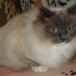 Питомник Невских кошек 7
