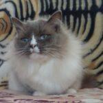 Питомник Невских кошек 8