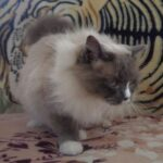 Питомник Невских кошек 9
