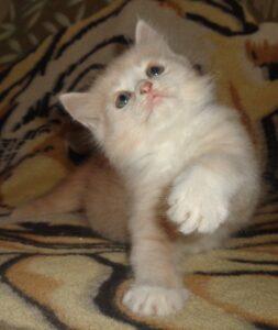 Рыся котёнок Сибирской породы