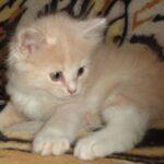 Рыся котёнок Сибирской породы 3
