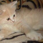 Рыся котёнок Сибирской породы 5