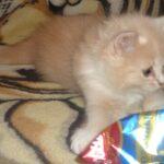 Рыся котёнок Сибирской породы 6