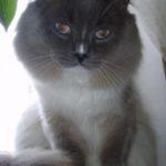 Какая она, эта Невская маскарадная кошка или кот?