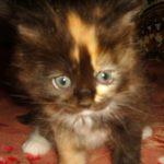 Трёхцветная Сибирская кошечка с розовой чёлкой