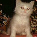 Снегурка — Невская кошечка