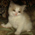 Невский котёнок, белый