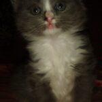 Дымчато-белый котик