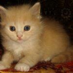 Персиковый котёнок