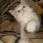 Рыся котёнок Сибирской породы — мальчик